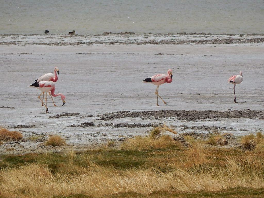Flamingos no Salar de Tara.