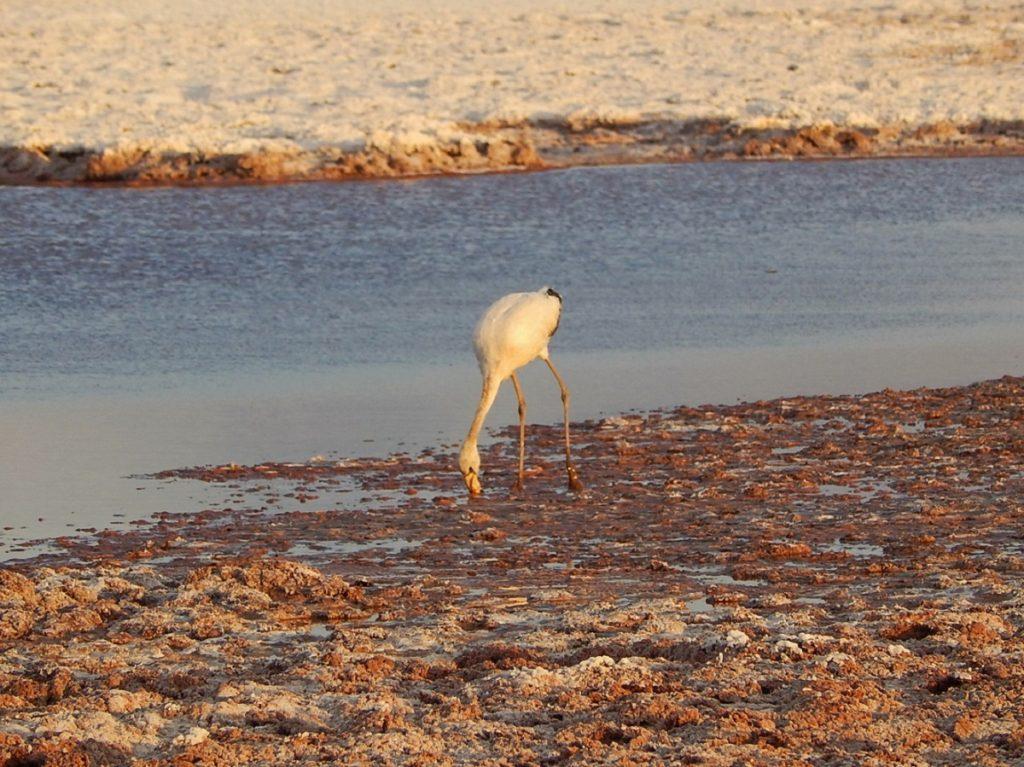 Flamingo na Laguna Tebinquiche.
